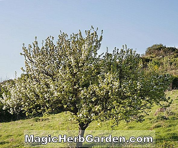 Tumbuhan: Pyrus communis (Conference Pear)