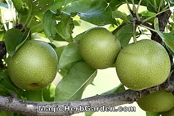 Pyrus pyrifolia (Kikusui Asian Pear)