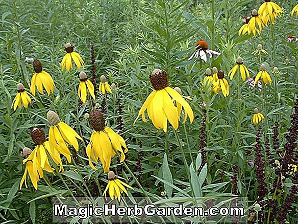 Ratibida pinnata (Grey-Head Coneflower)