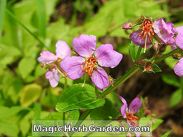 Tumbuhan: Rhexia virginica (Meadow Beauty)