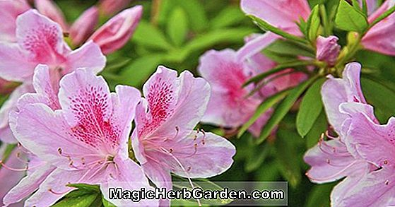 Rhododendron (Anytime Belgian Indian Azalea)