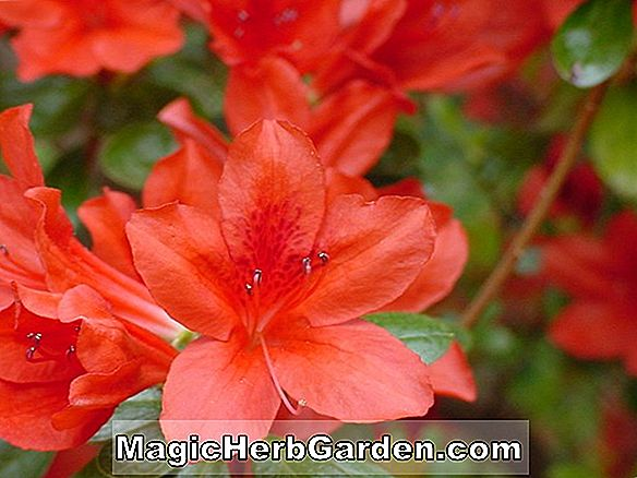 Rhododendron (Red Poppy Belgian Indian Hybrid Azalea)