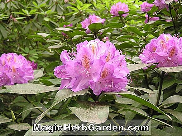 Tumbuhan: Rhododendron (Pot of Gold Knap Hill Azalea)