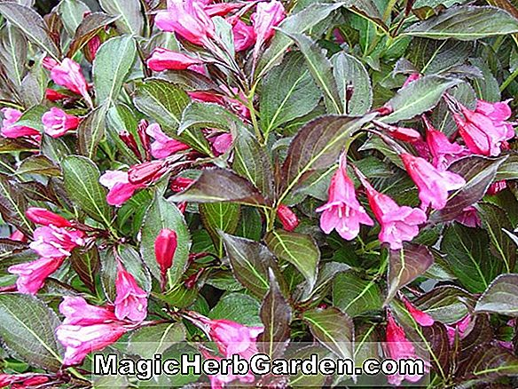 Rhododendron (Red Indian Knap Hill Azalea) - #2
