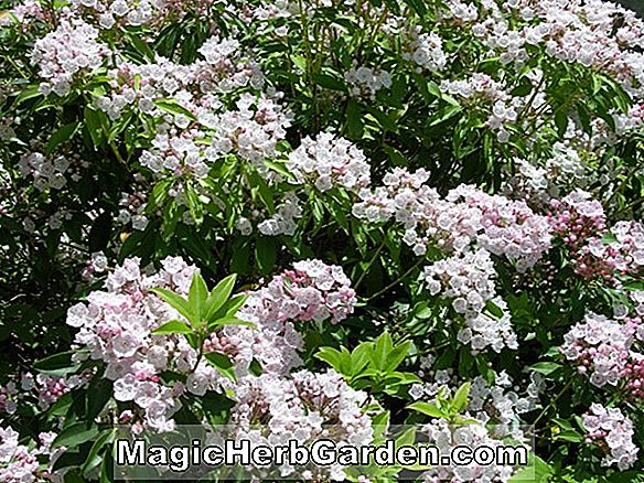 Tumbuhan: Rhododendron (Little Wonder Leach Rhododendron)
