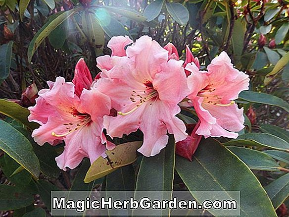 Rhododendron (Coral Redwing Indian Belgian Azalea) - #2