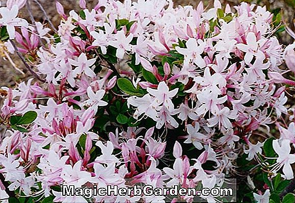 Rhododendron atlanticum (Yellow Delight Coast Azalea) - #2