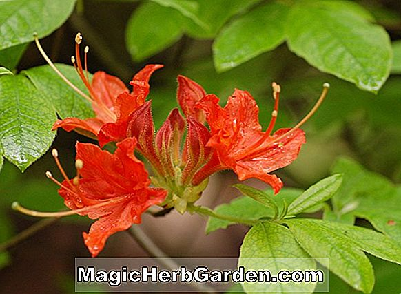 Rhododendron calendulaceum (Carlsons Coral Flameboyant Flame Azalea)