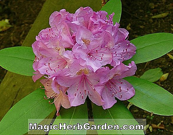 Rhododendron catawbiense (Elisabeth Catawba Rhododendron)
