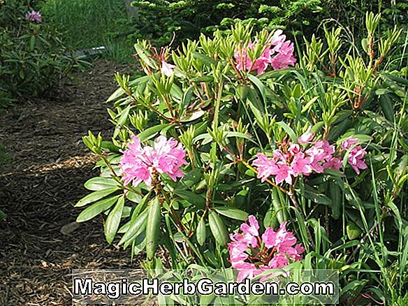 Rhododendron catawbiense (Cunningham's Blush Catawba Rhododendron)
