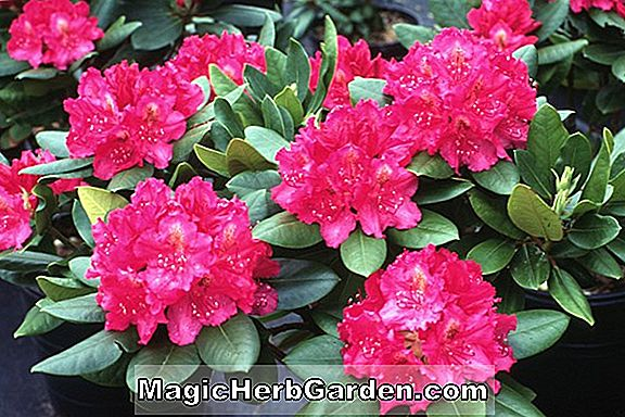 Rhododendron hybrida (David Gable) - #2