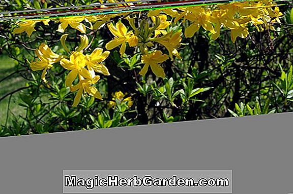 Rhododendron luteum (Coreth's Yellow Knap Hill Azalea)