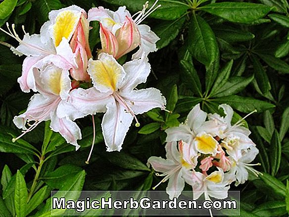 Rhododendron occidentale (Nyonya Anthony Waterer Western Azalea) - #2
