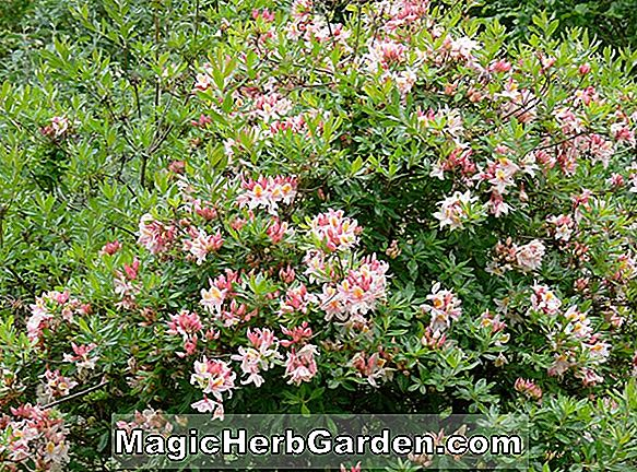Rhododendron occidentale (Bridesmaid Western Azalea) - #2