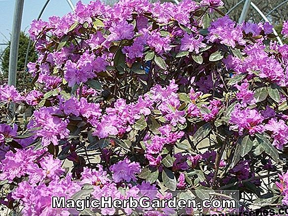 Rhododendron (Regal P.J.M. Rhododendron)
