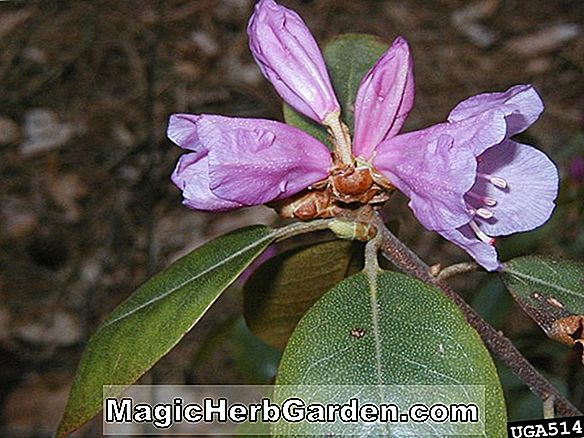 Rhododendron (Victor P.J.M Rhododendron)