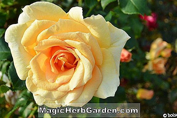 Rosa (China Doll Rose)