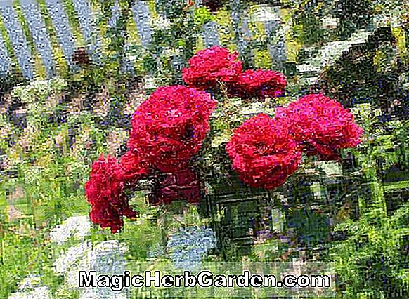 Tumbuhan: Rosa (Crimson Glory Rose)