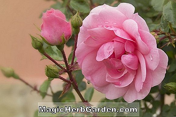 Rosa (Desert Peace Rose)