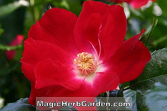 Rosa (Double Delight Rose) - #2