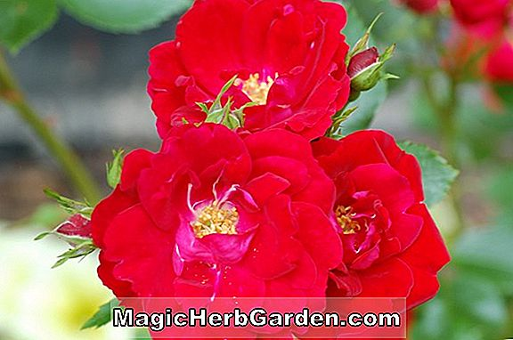 Tumbuhan: Rosa (Double Joy Rose)