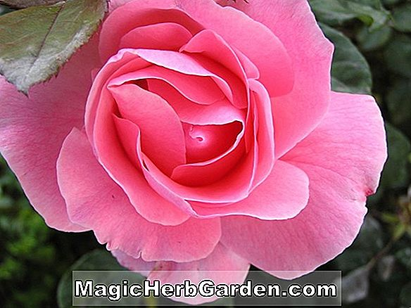 Tumbuhan: Rosa (English Holiday Rose)