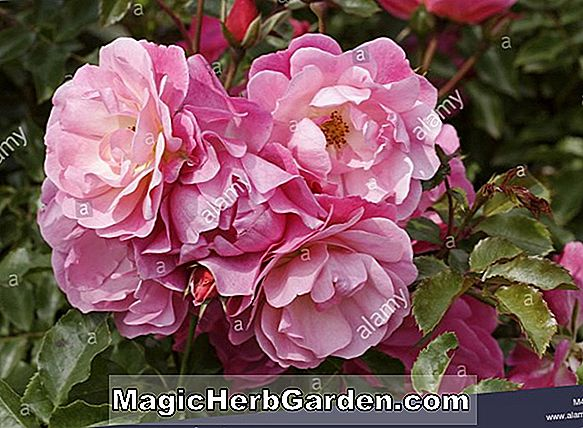 Rosa (Everest Double Fragrance Rose)