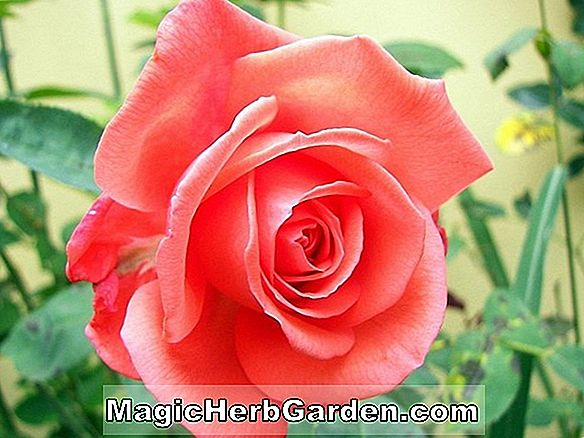 Rosa (Paul Scarlet Climber Rose)