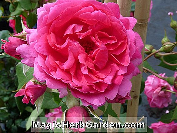 Tumbuhan: Rosa (Queen Parade Rose)