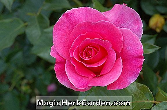 Tumbuhan: Rosa (Roman Holiday Rose)