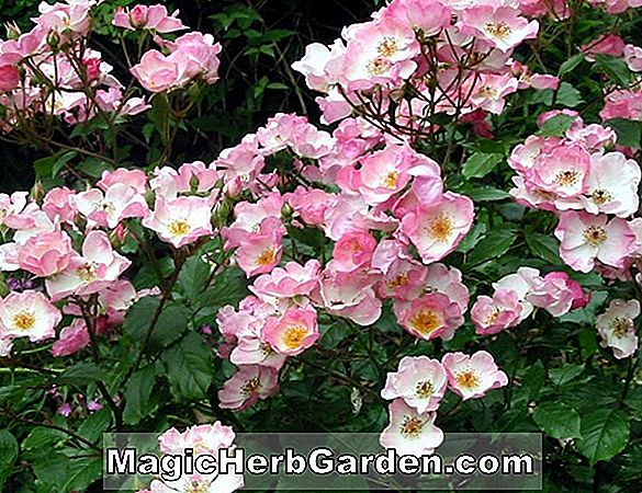 Rosa (Rosy Cushion Rose)