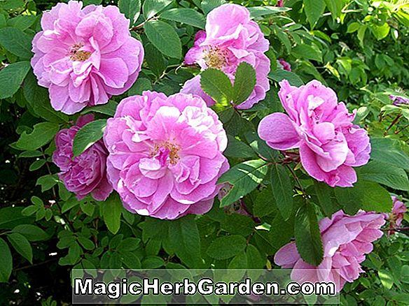 Rosa (Wasagaming Rose)