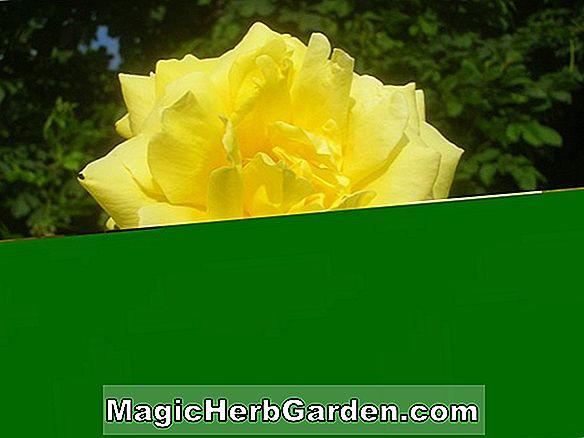 Rosa (Yellow Rambler Rose)