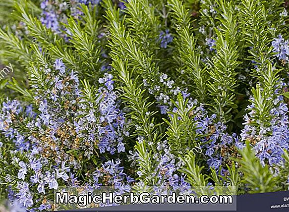 Rosmarinus officinalis (Beneden Blue Rosemary)