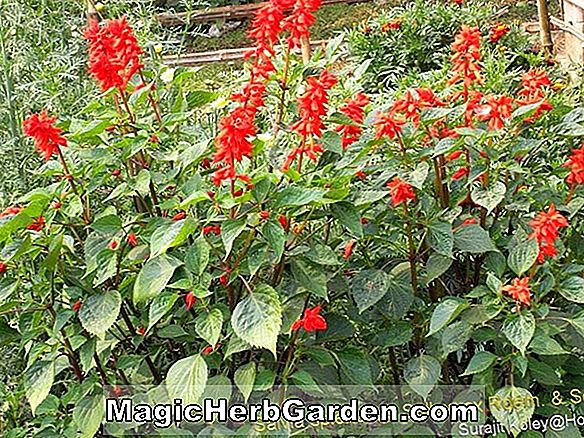 Salvia splendens (Red Hot Sally Scarlet Sage)