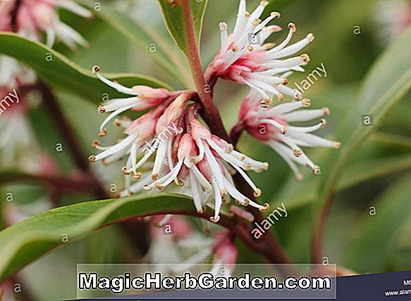 Sarcococca hookeriana (Sweetbox)