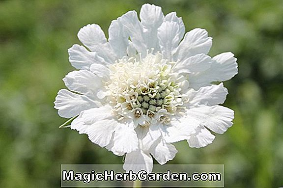 Scabiosa caucasica (Perfecta Alba Pincushion Flower)