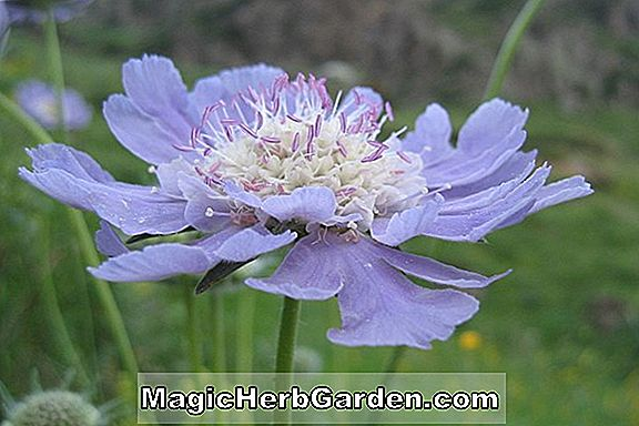 Scabiosa caucasica (Clive Greaves Pincushion Flower)