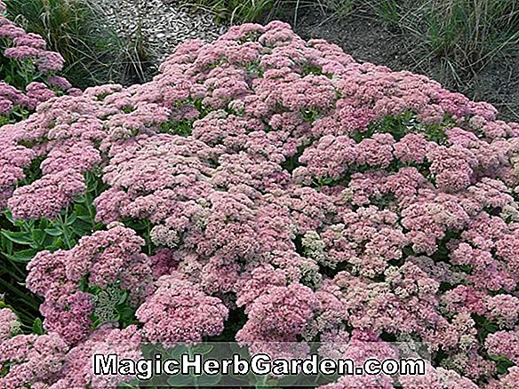 Sedum telephium (Indian Chief Orpine)
