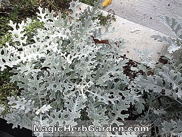 Senecio cineraria (Silver Dust Dusty Miller)
