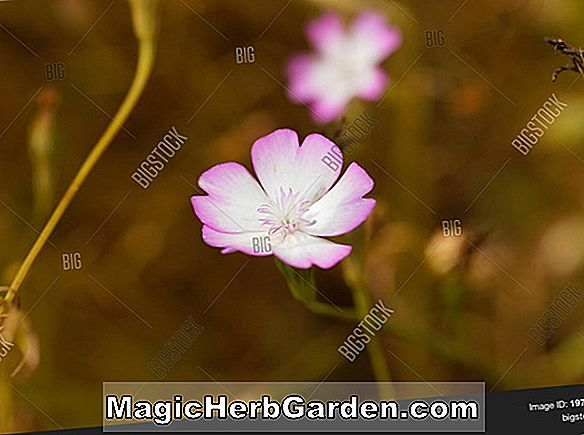 Tumbuhan: Silene coeli-rosa (Rose Angel Rose of Heaven)