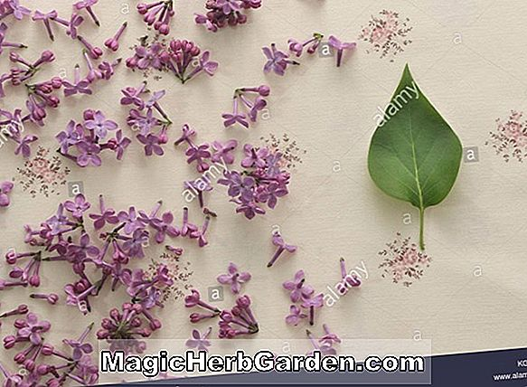 Syringa vulgaris (Paul Thirion Common Lilac)