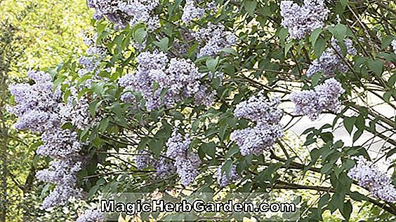 Syringa vulgaris (White Angel Descanso Lilac)