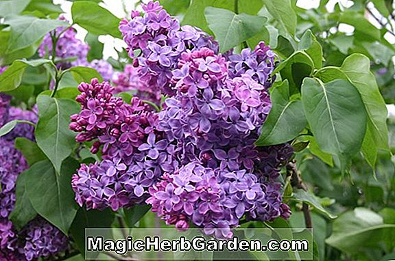 Syringa vulgaris (Congo Common Lilac) - #2