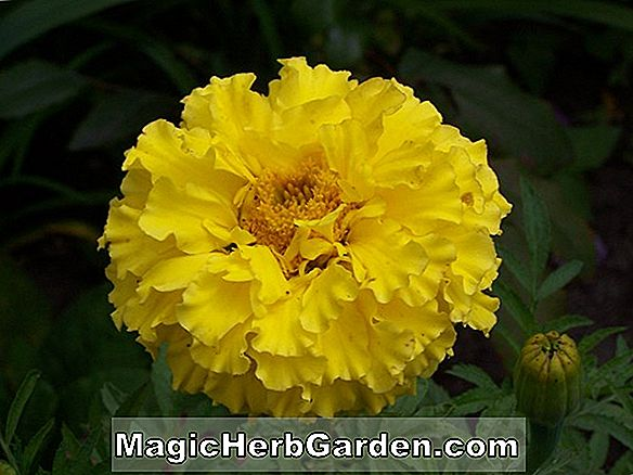 Tagetes erecta (Gold Coin Series Marigold) - #2