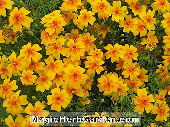 Tumbuhan: Tagetes tenuifolia (CommonName Not Available)