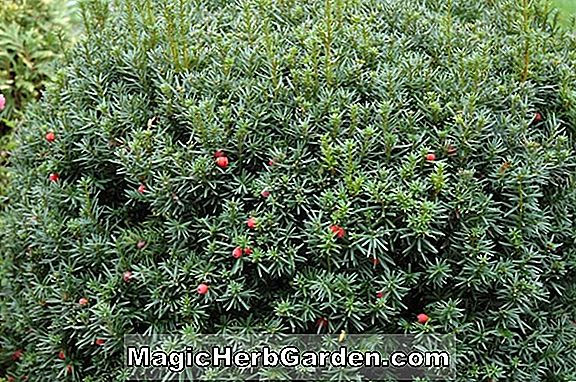 Tumbuhan: Media Taxus (Flushing Yew)