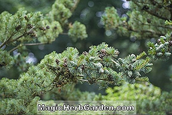 Taxus baccata (Glauca English Yew)