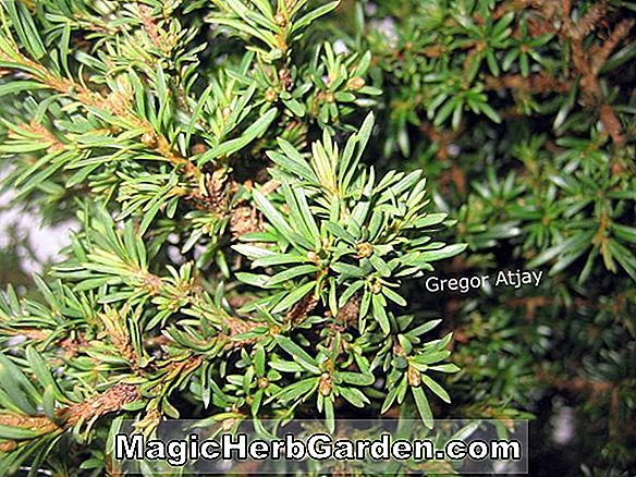 Taxus baccata (Nutans English Yew)