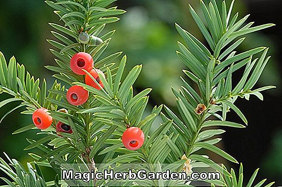 Taxus baccata (Albovariegata English Yew)